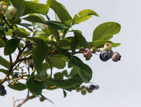 Fresh blueberries are ready for picking at Robertson Family Farm on Tuesday.<br /> Globe | Roger Nomer