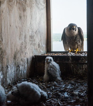 A peregrine falcon watches the return of its chicks in a bird box at the La Cygne power plant on Wednesday.<br /> Globe | Roger Nomer