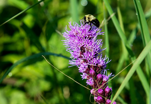 A bee lands on a thistle at land at the Liberty Utilities facility on Kodiak Road on Tuesday.<br /> Globe | Roger Nomer