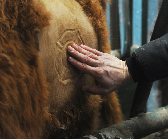 Globe/Roger Nomer<br /> A demonstration on freeze branding cattle was held on Tuesday at a farm near Mt. Vernon.