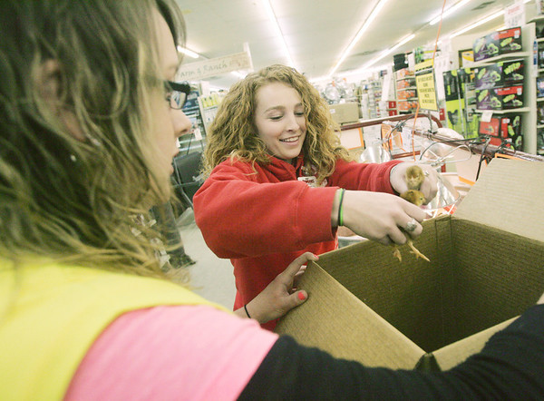 Globe/Roger Nomer<br /> Madison Pierce, left, and Elizabeth Kuharich box up baby chicks for a customer at Atwoods on Thursday.
