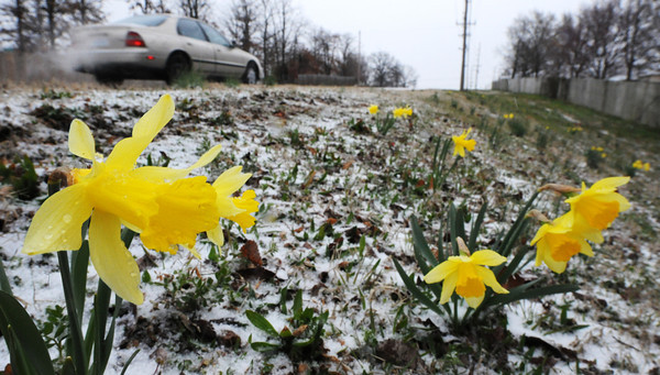 Globe/T. Rob Brown<br /> Spring daffodils find themselves in a winter-like scene on the first day of spring, Thursday, March 21, 2013, following snow and freezing drizzle along Zora Street in Joplin.