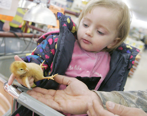 Globe/Roger Nomer<br /> Jurnei Briscoe, 2, Carl Junction, hands a baby chick over to her dad Ryan during a trip to Atwoods on Thursday morning.
