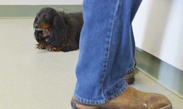 Globe/Roger Nomer<br /> Stubby watches over the lobby at the Carthage Humane Society on Tuesday.