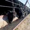 Globe/Roger Nomer<br /> Cattle feed at the Joplin Regional Stockyards on Friday.