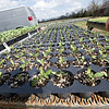 Vulnerable young tomato plants sit waiting for planting at Fredrickson Farms in Carl Junction on Thursday.<br /> Globe | Laurie Sisk
