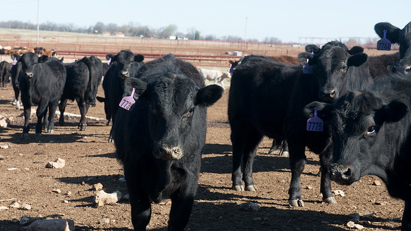 Globe/Roger Nomer<br /> Cattle gather at the Joplin Regional Stockyards on Friday.