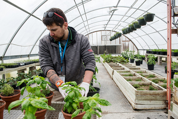Ethan Millard, horticulture tech 2 with Downstream Casino and Resort, works in Downstream's greenhouse on Thursday.<br /> Globe | Roger Nomer