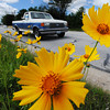 Globe/T. Rob Brown<br /> A variety of coreopsis lines the road along North Maiden Lane Wednesday morning, May 22, 2013, in Joplin. It's a perennial flower.