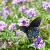 Globe/Roger Nomer<br /> A butterfly explores a field of wild Verbena flowers near Beaver Lake on Monday afternoon.