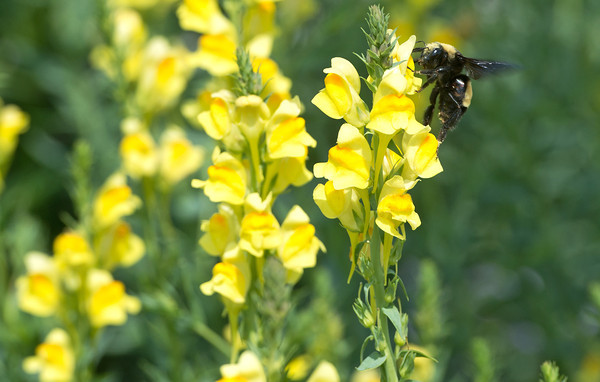 Globe/Roger Nomer<br /> A bee flies around a garden of Snapdragons at Crawford State Park on Thursday.