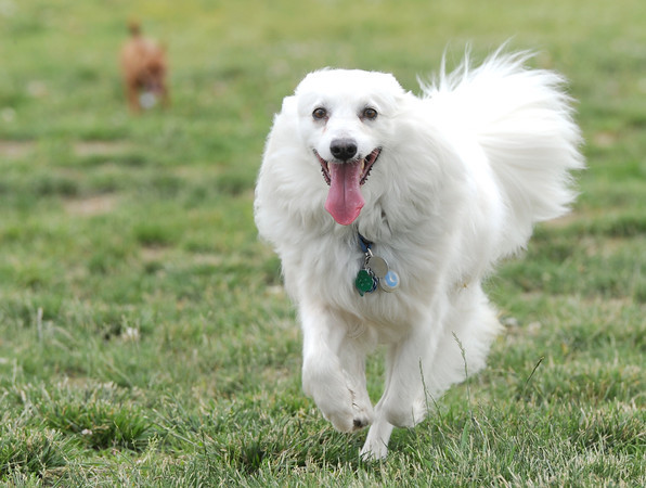 """Buddy,"" an American Eskimo, enjoys a carefree afternoon of romping with ""Squeaker,"" a chihuahua on Friday at the Parr Hill dog park.<br /> Globe 