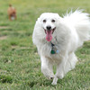 """""""Buddy,"""" an American Eskimo, enjoys a carefree afternoon of romping with """"Squeaker,"""" a chihuahua on Friday at the Parr Hill dog park.<br /> Globe 