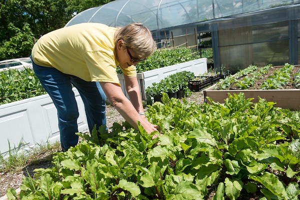 Globe/Roger Nomer<br /> Nancy Beckwith, with the Ozark Gateway Master Gardeners, weeds beet plants at their garden next to Crosslines on Tuesday.