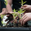 Joplin High students replant milkweed on Wednesday at the Franklin Tech greenhouse.<br /> Globe | Roger Nomer