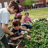 (from left) Owen Siebenthal, Oliver Thompson, Juno Fitzhugh and Tessa Miller, third graders, pick spinach in the West Central Elementary garden on Monday.<br /> Globe | Roger Nomer