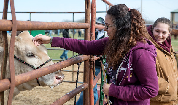 Hailie Minton, a sophomore at Crane High School, pets a cow at Aggie Day at Crowder College on Thursday.<br /> Globe | Roger Nomer