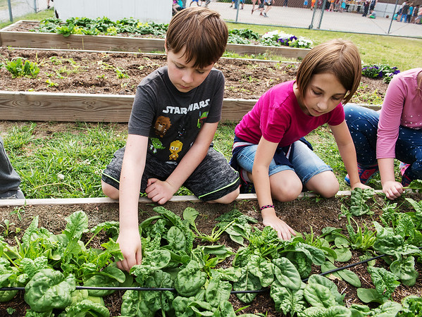 Oliver Thompson and Juno Fitzhugh, third graders, pick spinach at the West Central Elementary garden on Monday.<br /> Globe   Roger Nomer