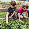 Oliver Thompson and Juno Fitzhugh, third graders, pick spinach at the West Central Elementary garden on Monday.<br /> Globe | Roger Nomer