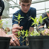 Joplin High seniors Sam Ingram, left, and Brandon Parker replant milkweed plants on Wednesday at the Franklin Tech Greenhouse.<br /> Globe | Roger Nomer