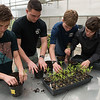 Joplin High students (from left) Lyle Morgan, junior, Liam Clevenger, senior, Sam Ingram, senior, and Brandon Parker, senior, replant milkweed plants at the Franklin Tech greenhouse on Wednesday.<br /> Globe | Roger Nomer
