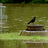 A bird finds respite on a small oasis on the Ozark Christian College soccer field after several feet of flooding on Thursday morning.<br /> Globe | Laurie Sisk