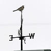 Globe/Roger Nomer<br /> A mockingbird sits atop a weather vane on North Main Street on Sunday, Nov. 11, 2012.  The winds changed this weekend, bring cooler temperatures to the area.
