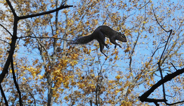 A squirrel leaps across Silver Creek, through the branches of overhanging trees Monday afternoon, Nov. 4, 2013, at Wildcat Glades Park.<br /> Globe | T. Rob Brown