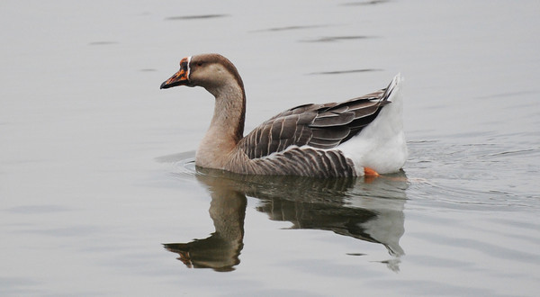 A graylag goose swims on Kellogg Lake in Carthage Monday afternoon, Nov. 11, 2013.<br /> Globe | T. Rob Brown