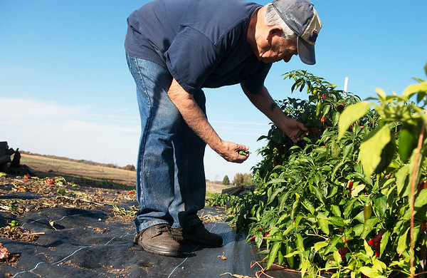 Globe/Roger Nomer<br /> Tim Green picks peppers on Monday at his farm in Galena.