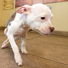 """A loveable """"Minnie"""" scoots along the floor Thursday at the Joplin Humane Society. Neurological damage from distemper have rendered her back legs limp, but """"Minnie"""" can scoot quite rapidly toward human touch.<br /> Globe 
