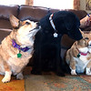 Canine Companion dog Declan III, center, visits with his roommates, Jasmine and Rascal, on Tuesday at the home of trainer Mary Green. Green and her daughter, Kyna Adams are training Declan III - the third such service dog the mother and daughter duo have trained.<br />   Globe   Laurie Sisk