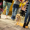 Bridget walks the halls with students at Royal Heights Elementary on Tuesday. Students have learned to not pet the dogs without asking for permission.<br /> Globe | Roger Nomer