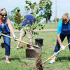 Corki Moller (left) and Kellie Marciulonis, both Ameriprise Financial employees from St. Louis, help plant one of several trees Friday afternoon, Oct. 4, 2013, at Peace Lutheran Church, 3100 N. St. Louis.<br /> Globe | T. Rob Brown