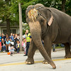 One of two circus elephants makes its way down Grand Avenue during the  50th Annual Maple Leaf Parade in Carthage on Saturday.<br /> Globe | Laurie Sisk