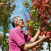 Globe/Roger Nomer<br /> Mike Shade, owner of the Botany Shop, looks at trees on Tuesday afternoon at the store.