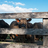 Globe/Roger Nomer<br /> Cattle feed on Tuesday at the Winslow farm in Carthage.