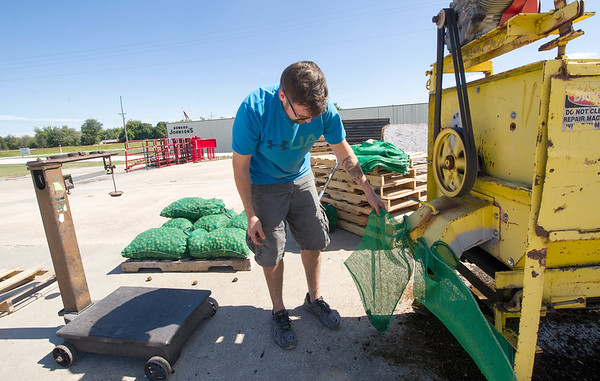 Brady Oakes, of Southside Feed and Farm Supply  in Neosho, bags walnuts from a chute on a huller on Saturday in Neosho.<br /> Globe | Laurie Sisk