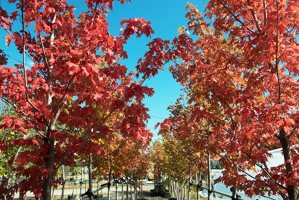 Globe/Roger Nomer<br /> Fall colors appear on trees at the Botany Shop on Tuesday.