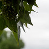 Rain collects on leaves at Missouri Southern on Oct 10.<br /> Globe | Roger Nomer