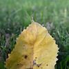 A solitary yellow lef lays on the ground near the base of a tree in Schifferdecker Park last week.<br /> Globe | Laurie Sisk