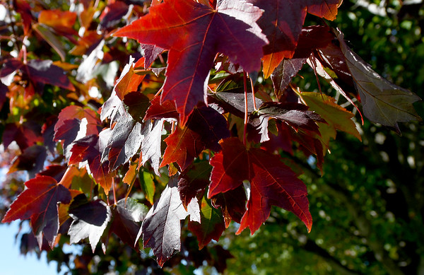 Sun filters through the brilliant red leaves on a tree in Schifferdecker Park last week.<br /> Globe | Laurie Sisk