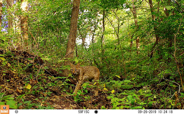 Photo of a bobcat captured near Pittsburg from the Snapshot USA project.<br /> Photo Courtesy PSU
