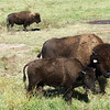 Buffalo owned by the Quapaw Nation roam in a field near Downstream Casino on Monday morning.<br /> Globe | Roger Nomer