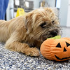 """Olivia,"" a young yorkshire terrier/shih tzu mix puppy, enjoys a little playtime on the newly painted floor in the lobby of the Carthage Humane Society on Wednesday. The shelter will celebrate its 70th anniversary on Saturday.<br /> Globe 