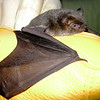 A gray bat is studied for signs of white nose syndrome at Pittsburg State University.<br /> Courtesy Photo/ Andrew George