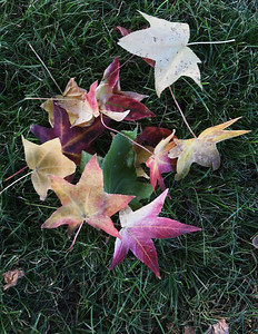 Brightly colored leaves lay on the ground at Schifferdecker Park last week. Globe | Laurie Sisk