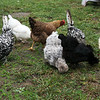 Sharon Rogers' chickens search for food on Wednesday morning.<br /> Globe | Roger Nomer