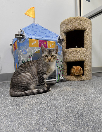 Two cats enjoy the amenities inside Gussie's Free Range Kitty Haven on Wednesday at the Carthage Humane Society. The shelter will celebrate its 70th anniversary on Saturday.<br /> Globe   Laurie Sisk