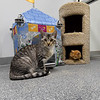 Two cats enjoy the amenities inside Gussie's Free Range Kitty Haven on Wednesday at the Carthage Humane Society. The shelter will celebrate its 70th anniversary on Saturday.<br /> Globe | Laurie Sisk